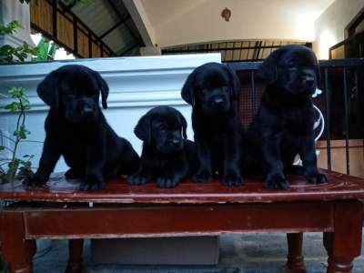 Labrador 7 weeks - Pure English Breed - Dogs on Aster Vender