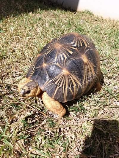 TORTUE RADIATA - Turtles on Aster Vender