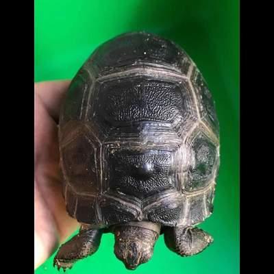 Aldabra Tortoises  - Other Pets on Aster Vender