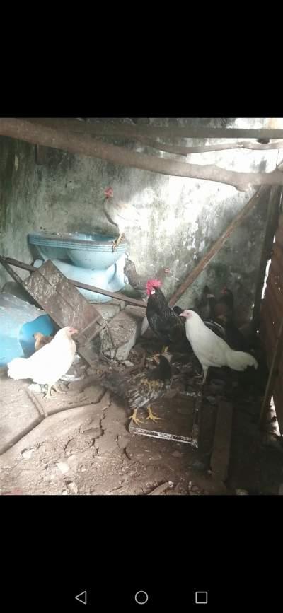 Poule Coq et volaille - Birds on Aster Vender