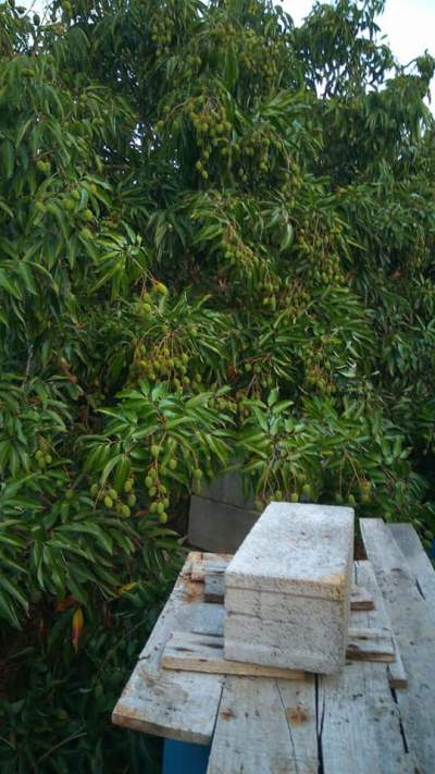 x100 Lychee/Litchi Plants for sale - Plants and Trees on Aster Vender