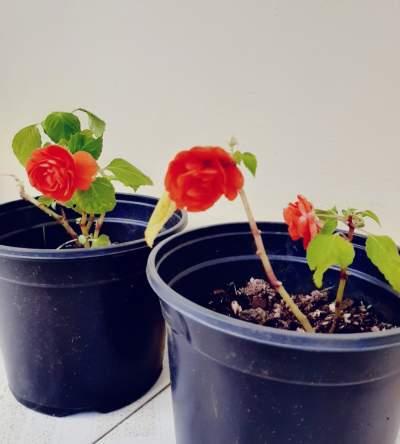 Binjamin fleur forme de Rose (0range) - Plants and Trees on Aster Vender