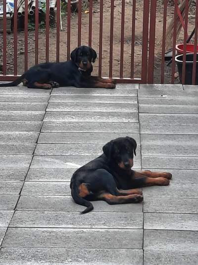 A vendre chiots - Dogs on Aster Vender