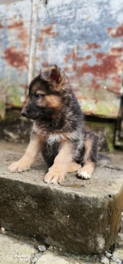 German shepherd  - Dogs on Aster Vender