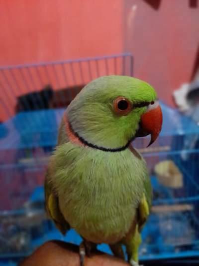 Green ringneck - Birds on Aster Vender