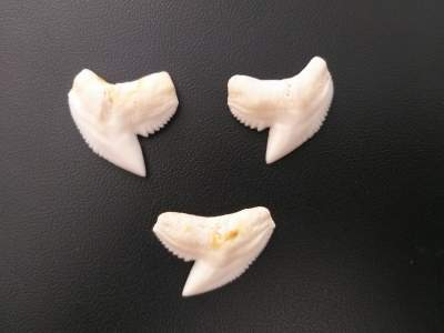 Set of 3 Tiger shark teeth 28 mm - Other Accessories on Aster Vender