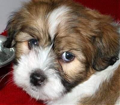 Griffon Nain Pure Sang - Dogs on Aster Vender