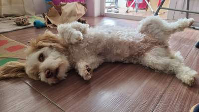 Cherche griffon nain male pour reproduction  - Dogs on Aster Vender