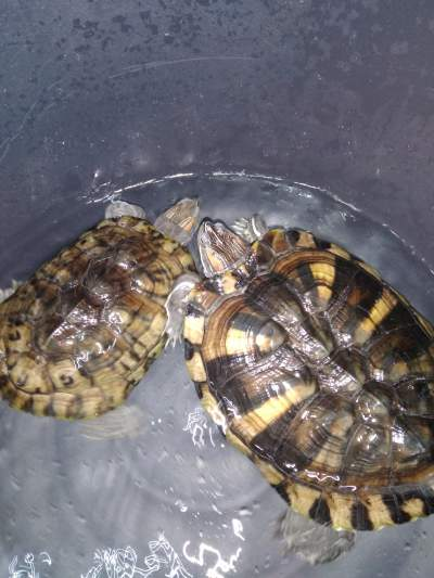 turtles - Turtles on Aster Vender
