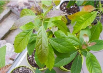 Avocado plants fruits - Plants and Trees on Aster Vender