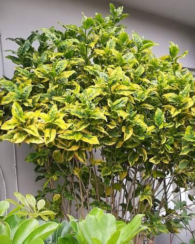 Arbuste nuancé jaune doré et vert décoratif - Plants and Trees on Aster Vender