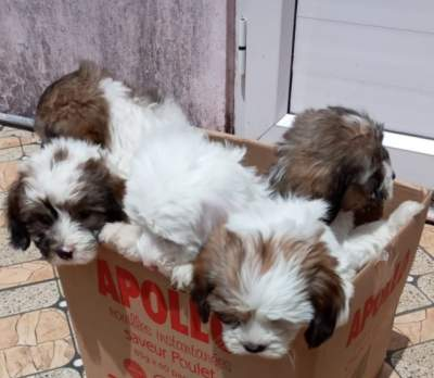 Chien griffon nain pur sang a vendre - Dogs on Aster Vender