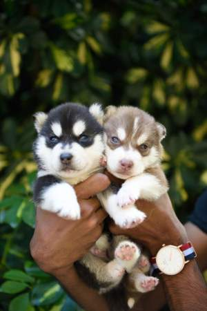 SIBERIAN HUSKY PUPPIES FOR SALE - Dogs on Aster Vender