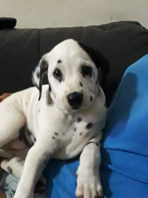 Dalmatian puppies dewormed and vaccinated for sale. - Dogs on Aster Vender