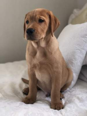 Labrador puppy for sale  - Dogs on Aster Vender