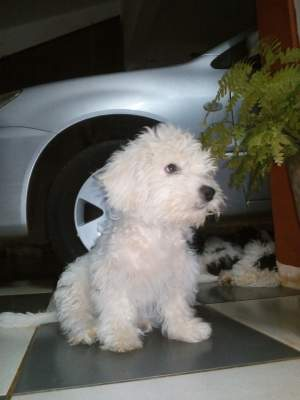A vendre 3 Griffon - Dogs on Aster Vender