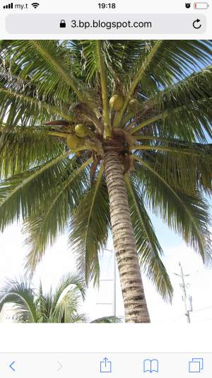 Coconut trees for decoration or fruits - Plants and Trees on Aster Vender