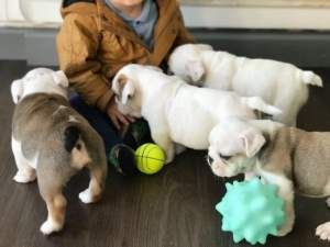 ENGLISH BULLDOGS - Dogs on Aster Vender