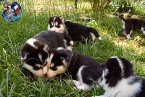 Chiots Husky Sibérien mâle et femelle a donner - Dogs on Aster Vender