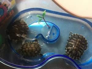 Tortue  - Turtles on Aster Vender