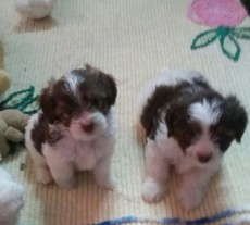 Chiots griffon pure sang à vendre - Dogs on Aster Vender