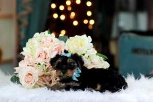 Tiny Teacup yorkie puppies - Dogs on Aster Vender