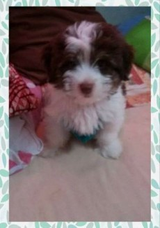 Griffon puppies for sale - Dogs on Aster Vender