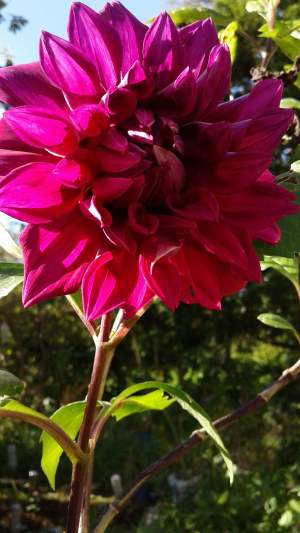 Dahlia double fushsia - Plants and Trees on Aster Vender