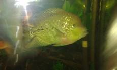 Fish -  Aquarium fish on Aster Vender