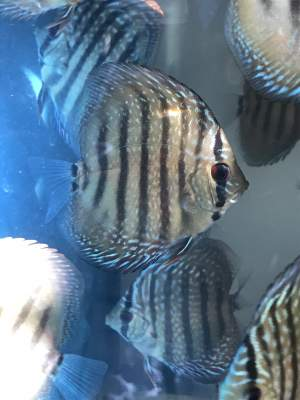 Juvenile Discus  -  Aquarium fish on Aster Vender