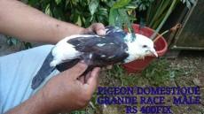 A vendre pigeon domestique - Birds on Aster Vender