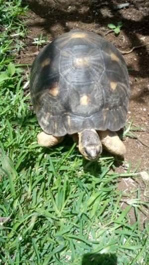 tortue a vendre - Turtles on Aster Vender