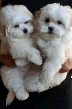 Maltese puppies for sale - Dogs on Aster Vender