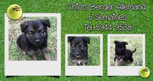 Chiots Berger Allemand - Dogs on Aster Vender