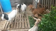 Cabri ti bouc - Goats on Aster Vender