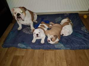 English Bulldog - Dogs on Aster Vender