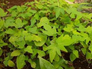 Papaya solo plants - Plants and Trees on Aster Vender