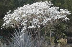 Neiges de Kilimandjaro ou étoiles de Noël  - Plants and Trees on Aster Vender