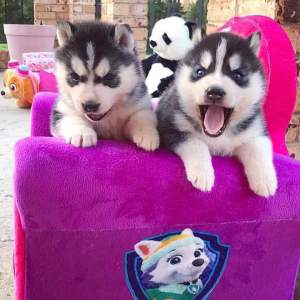 Siberian husky puppy - Dogs on Aster Vender