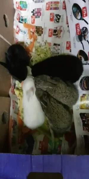 A Vendre Jeune Lapin - Rabbit on Aster Vender