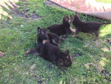 German Shepherd Puppies - Dogs on Aster Vender