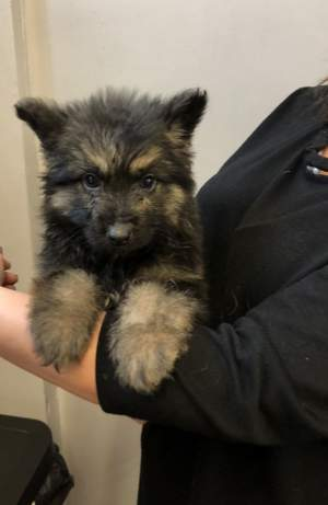 German Shepherd Puppy - Dogs on Aster Vender