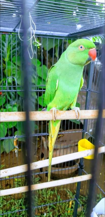Cato vert femelle + cage neuf