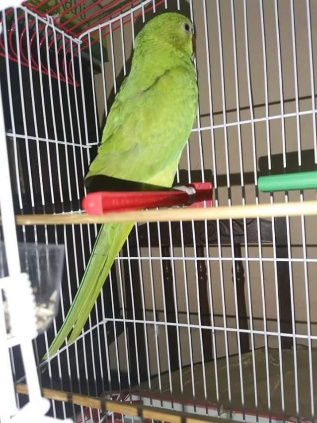 Cato vert