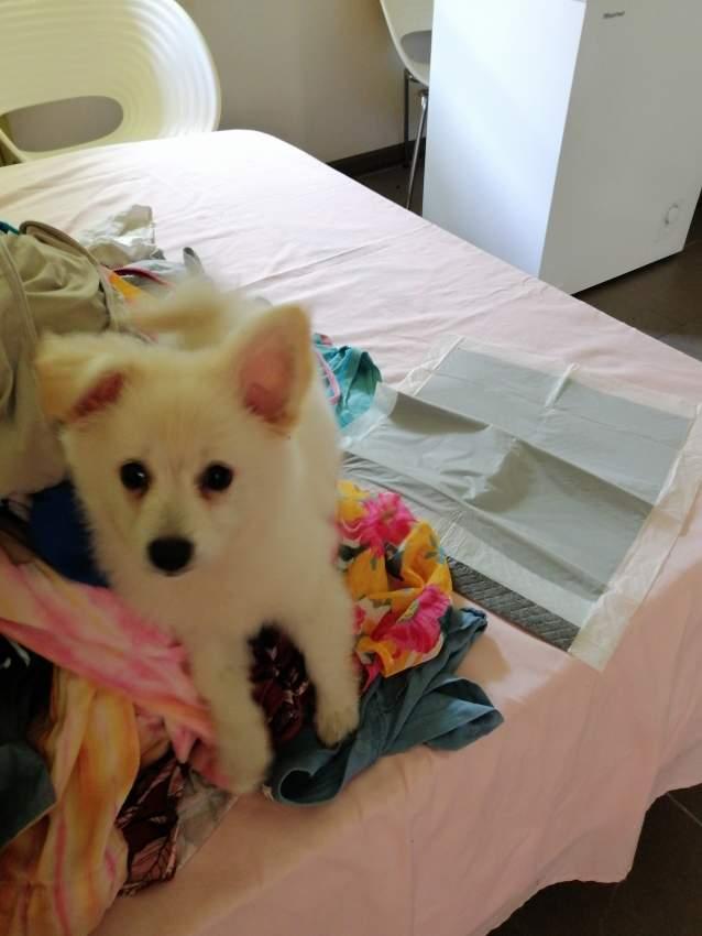 German spitz puppy for sale