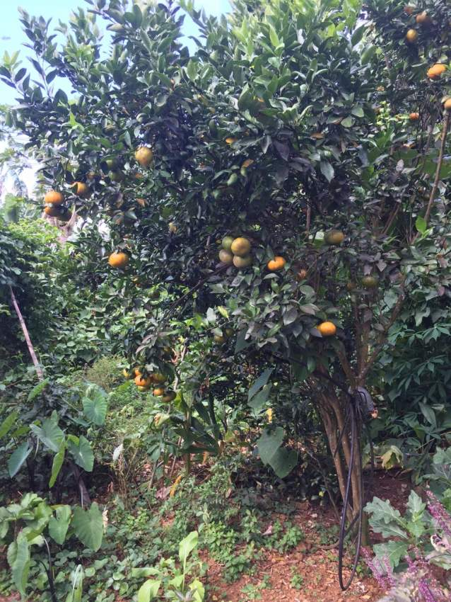 Mandarin trees - Plants and Trees at AsterVender