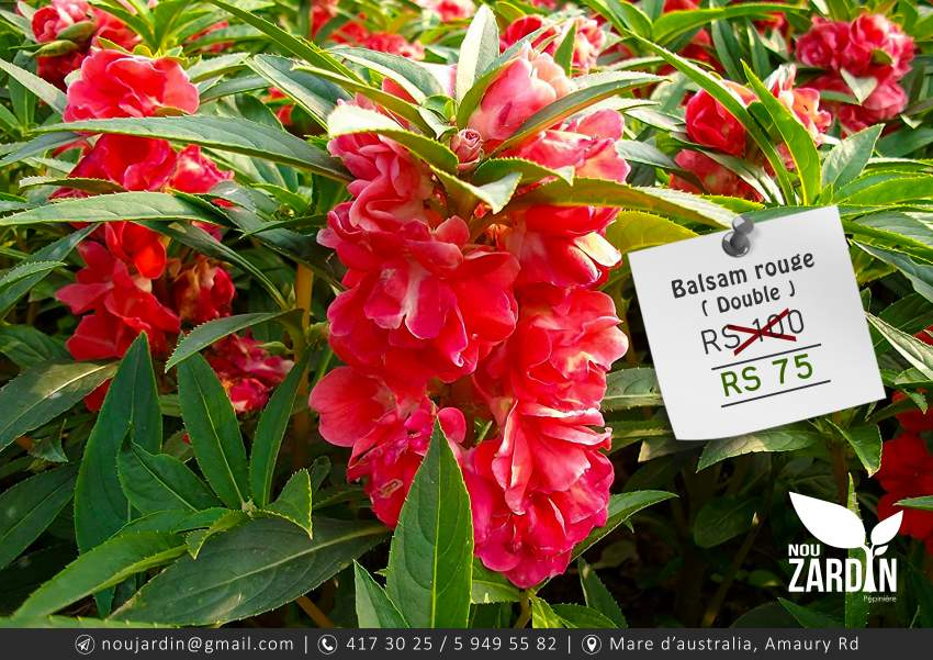 Balsam rouge plant - ( Double )