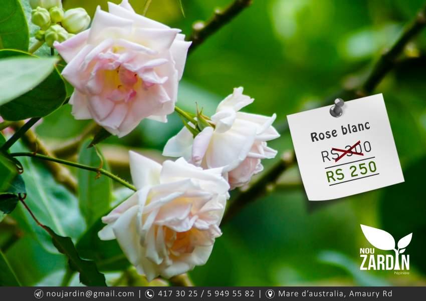 Rose blanc plant