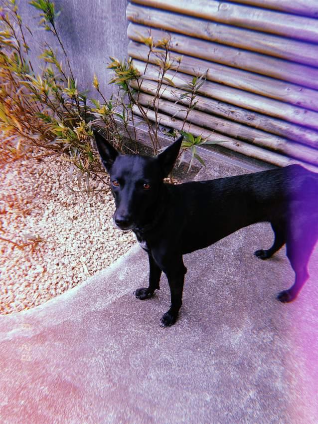 don chienne noir