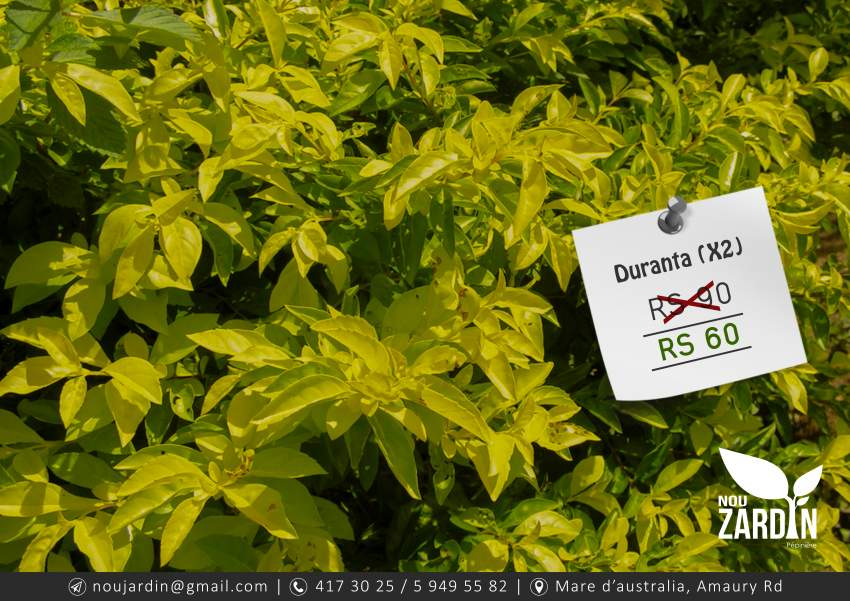 Duranta Plant (X2) - Plants and Trees at AsterVender